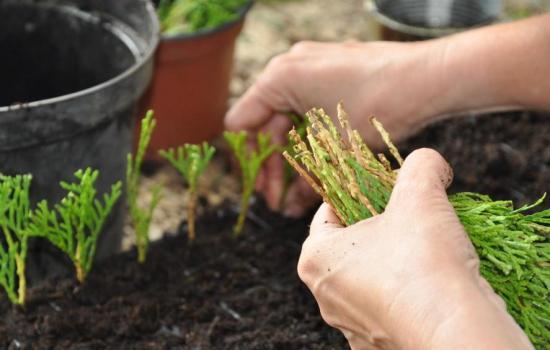 Как быстро и легко размножать тую: посадка черенков в домашних условиях. Уход за саженцами во время укоренения