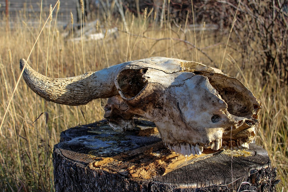 череп корова