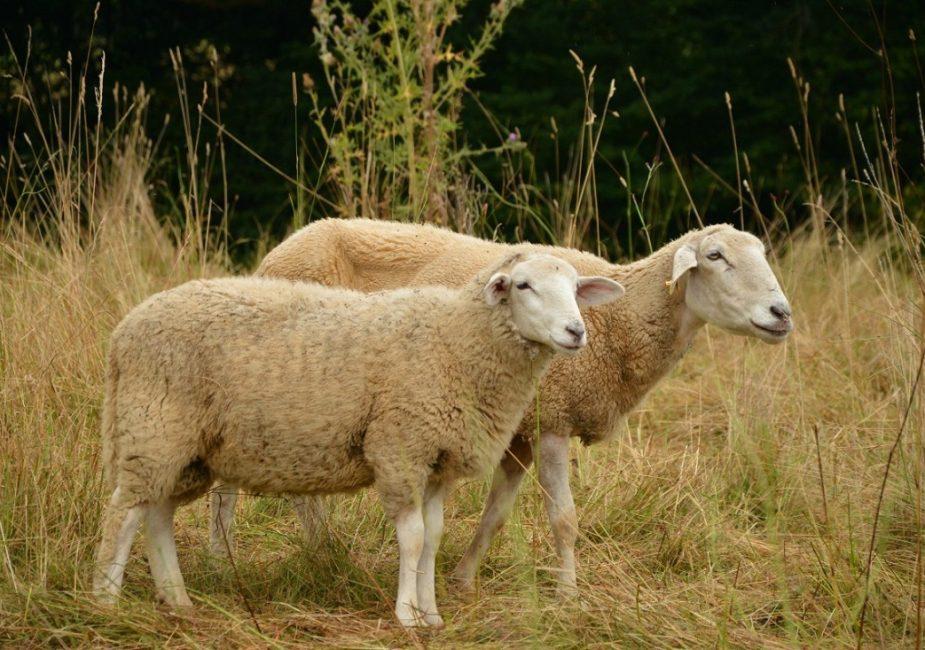 овцы, две овцы