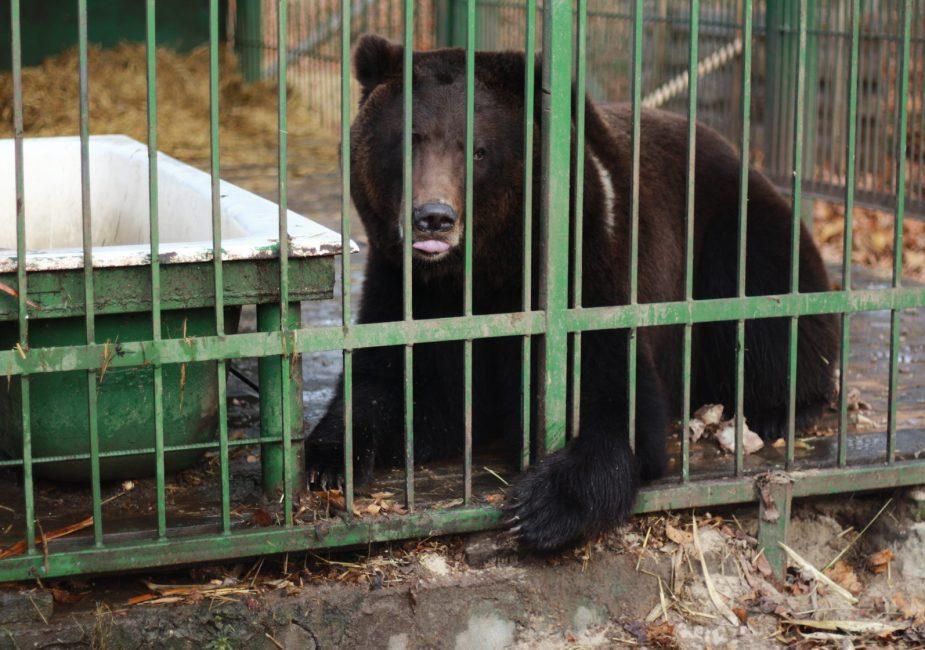 медведь в жировичском зоосаду
