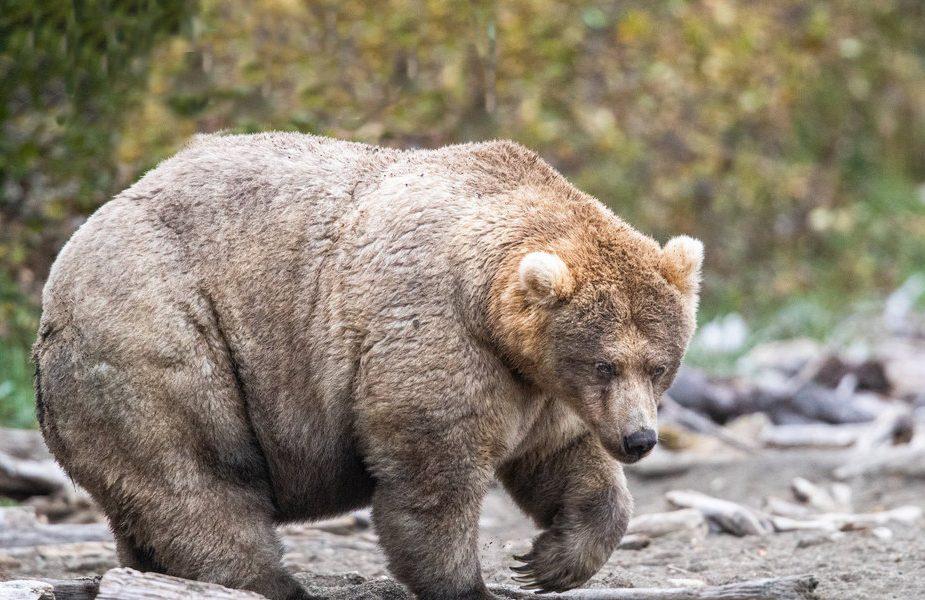Отправился на рыбалку с друзьями и погиб от нападения медведицы
