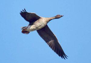 Открыт сезон охоты на гуся и казарку