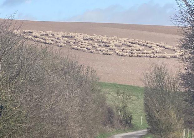 овцы в круге